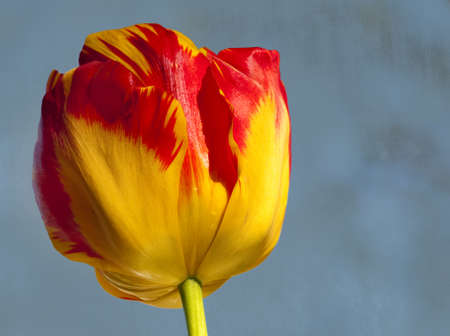 A tulip on a textured background with negative space for text