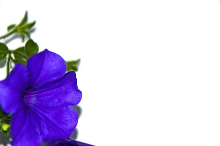 A purple petunia on the left side with negative space for text