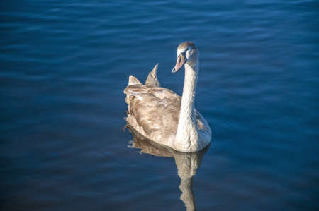 water fowl: A young swan floating on a lake