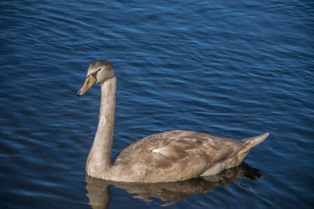 water fowl: A young swan swimming