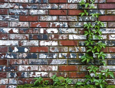 ivy wall: A textured brick wall with green ivy Stock Photo