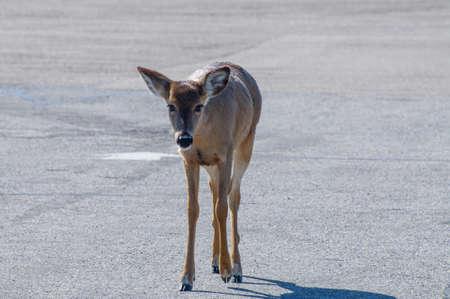A single deer wandering in a parking lot Фото со стока
