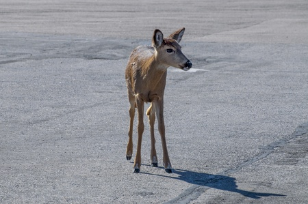 A small white tail deer wandering in a parking lot