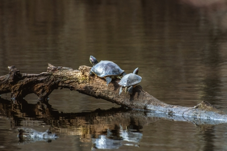 sunning: A pair of painted turtles sunning on a log in a pond