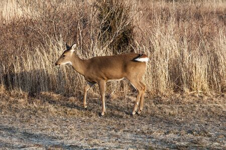 white tail deer: A white tail deer walking along a field