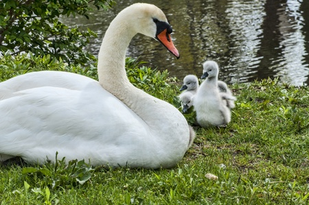 A mother swan and her babies on the shore of a lake