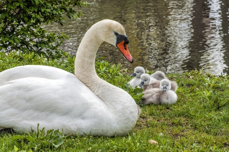 A mother swan and her babies at the lake