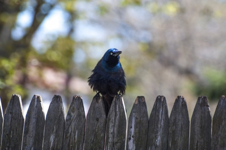 A common grackle sitting puffed up on the fence