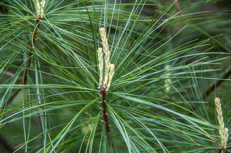 A close up image of white pine needles