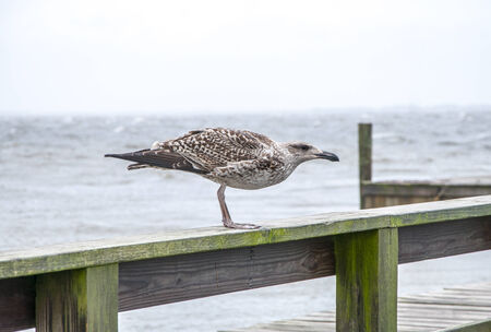 A gull facing into the wind during a hurricane Stock Photo