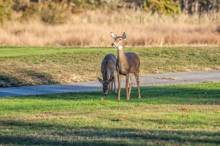 A couple of deer grazing and on alert on a local golf course Stock Photo