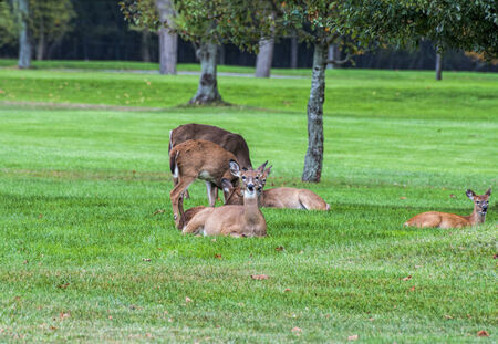 A small herd of deer resting on a local golf course