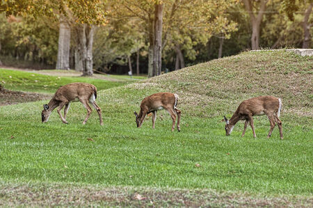 white tail deer: Three white tail deer grazing on a local golf course Stock Photo