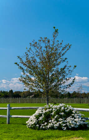 A fence surrounds the vineyard of a winery with a tree and daisies decorating the landscape Stock Photo