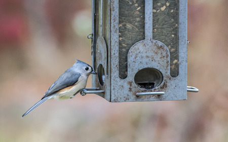 sunflower seeds: A tufted titmouse at the feeder in the Wertheim Federal Preserve