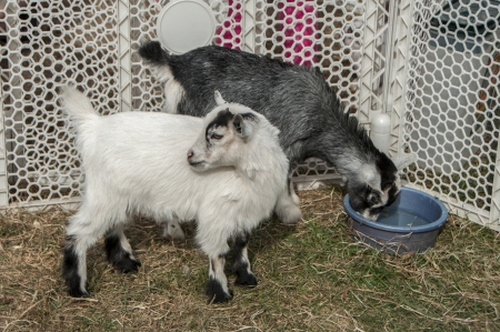 Two baby goats in a pen