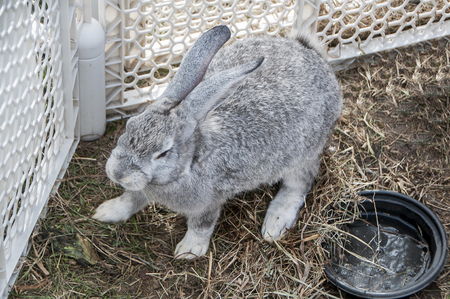A large gray rabbit in a pen Stock Photo