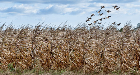 A flock of geese fly above a corn field