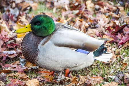 A nice plump Mallard duck resting on the lake shore amongst the multicolored fallen leaves of autumn Stock Photo