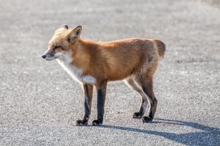 A female fox wandering around near the beach minus her tail  Stock Photo