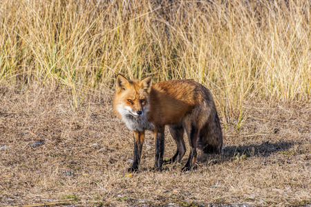 A male fox wandering along the beach in search of food