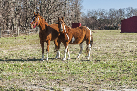 A pair of chestnut horses in the field Stock Photo