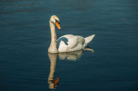A lone swan swimming in the deep blue water of a lake