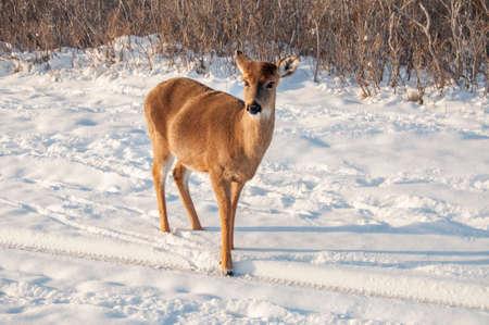 white tail: Un cervo coda bianca alla ricerca di cibo nella neve