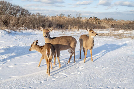 Three deer at the beach foraging for food in the snow Stock Photo