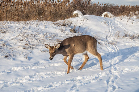 A young deer with growing antlers in the snow