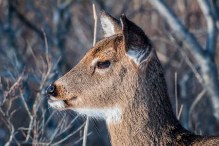 A close up side profile of a white tailed deer in the wild