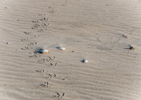 vogelspuren: Vogel-Spuren am Strand entlang mit Muschelschalen und Sand