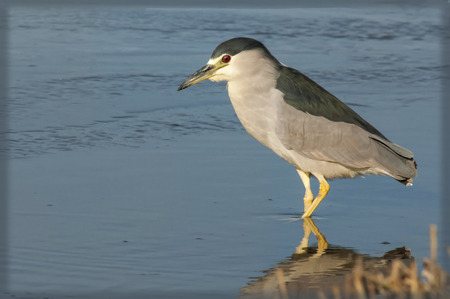 A young black capped night heron hunting for dinner Stock Photo