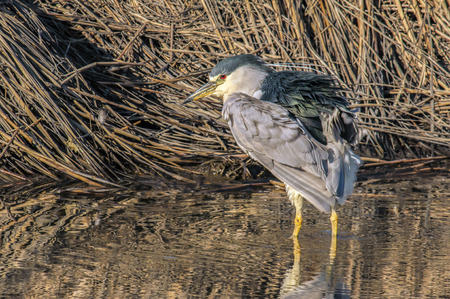 A black capped night heron hunting in the wetlands for dinner