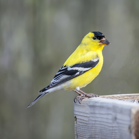 An American Goldfinch with a sunflower seed in his beak Stock Photo