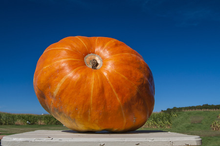 large pumpkin: A very large pumpkin sits on display at the local farm stand.