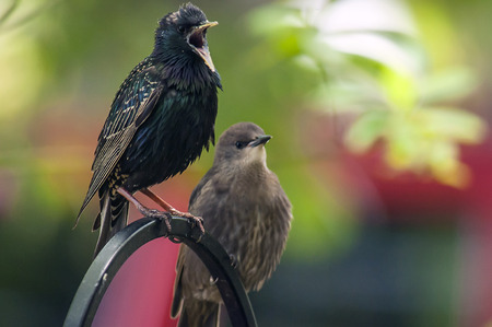 call of nature: A starling is complaining with a younger starling on the feeder.