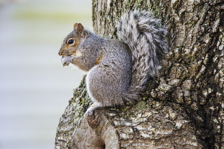 furry tail: A squirrel enjoying a snack of peanuts resting on a tree Stock Photo