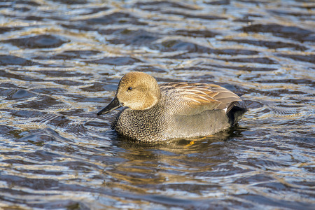 A gadwall in the lake Stock Photo - 55012352
