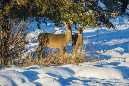 white tail deer: A pair of white tail deer foraging for food after a snowfall.