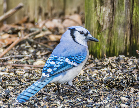 foraging: Blue Jay foraging for seeds