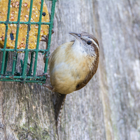 feasting: A Carolina Wren feasting at the suiet cage.