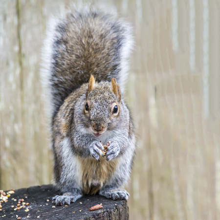 feasting: A squirrel sitting on a stump feasting on peanuts and seeds.