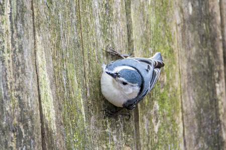 black feathered: A nuthatch clinging to a fence waiting its turn at the suet feeder.