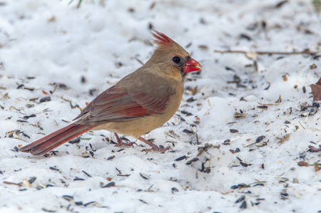 Female Cardinal eating sunflower seeds on the snow covered ground Stock Photo - 83060747