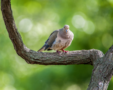 Mourning Dove perched on a tree limb Stock Photo - 83025998