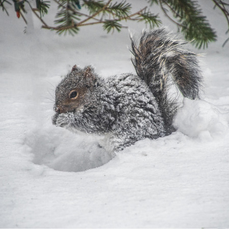 Snow covered squirrel eating some seeds and nuts during a snowstorm. Stock Photo