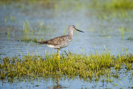 "Often referred to as a ""marshpiper"" for its habit of wading in deeper water than other sandpipers, the Greater Yellowlegs is heftier and longer-billed than its lookalike, the Lesser Yellowlegs. Greater Yellowlegs are seen mostly during migration, as they pass between nesting grounds in the mosquito-ridden bogs of boreal Canada and wintering territories on marshes across the southern tier of the United States. With its flashy yellow legs, sturdy bill, and deliberate gait, it cuts a dashing, often solitary, figure on mudflats from coast to coast. Stock Photo - 115341522"