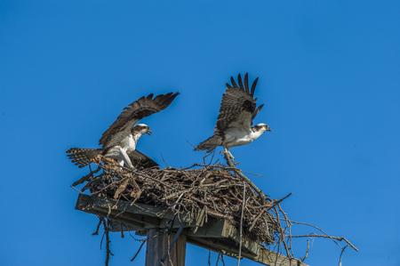 Pair of nesting ospreys in the nest.