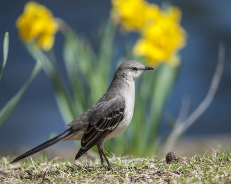 Mockingbird stands as if at attention Stock Photo